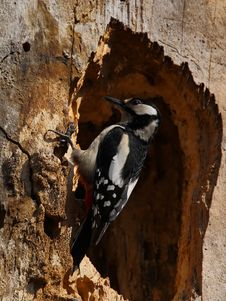 Free Woodpecker On A  Hollowed Trunk Stock Photos - 17366773