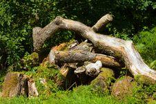 Free Old Tree Royalty Free Stock Image - 17367906