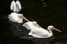 Free Four Pelicans Stock Photo - 17368420