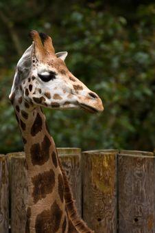 Free Giraffe Head Stock Photography - 17368852