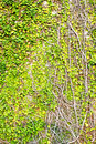 Free Green Leaves On Old Brick Wall Royalty Free Stock Photos - 17373338