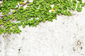 Free Green Leaves On Old Brick Wall Royalty Free Stock Images - 17373369