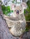 Free Portrait Of A Wild  Koala Sitting In A Tree Royalty Free Stock Image - 17374196