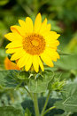 Free Sunflower Royalty Free Stock Photos - 17376988