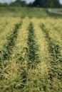 Free Maize Stock Photos - 17377173