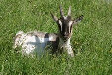 Free Goat Stock Photography - 17372902