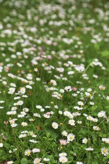Free Spring Flower Daisy Meadow Royalty Free Stock Photos - 17372968
