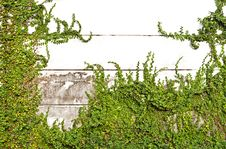 Free Green Leaves On Old Brick Wall Stock Images - 17373104