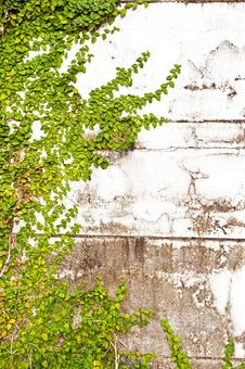 Free Green Leaves On Old Brick Wall Royalty Free Stock Images - 17373289