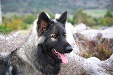 Shiloh Shepherd Royalty Free Stock Photo
