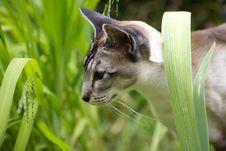 Free Siamese Cat Walking Through Garden Stock Photos - 17373523