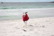 Free Whippet In Red Coat On Beach Stock Image - 17373591