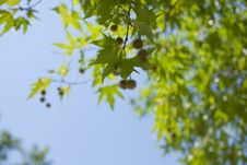 Free Maple Leaves Stock Photos - 17373933