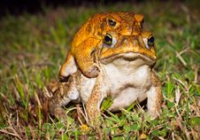 Free Two Cane Toads (Bufo Marinus) Mating Royalty Free Stock Images - 17374019
