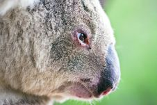 Free Close-up Profile Portrait Of A Wild Koala Stock Images - 17374154