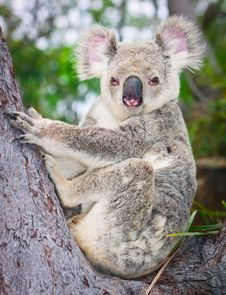 Free Portrait Of A Wild  Koala Sitting In A Tree Royalty Free Stock Image - 17374196