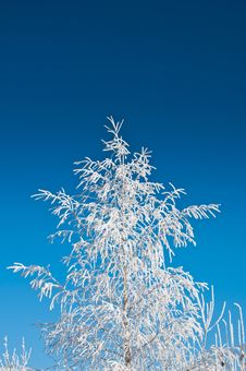 Free Frozen Pine Tree Stock Photography - 17374212