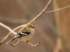 Free American Goldfinch, Carduelis Tristis Royalty Free Stock Photos - 17374658
