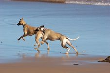 Free Two Whippets Enjoying The Beach Stock Image - 17374791