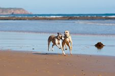 Two Whippets Running On The Beach Royalty Free Stock Images