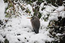 Free Grey Heron (Ardea Cinerea) Stock Images - 17376334