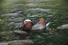 Free Mandarin Duck Stock Image - 17380001