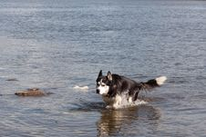 Free Husky In Water Royalty Free Stock Photos - 17380728