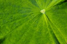 Free Lotus Leaf Stock Image - 17381461