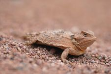 Free Lizards Of Arizona Royalty Free Stock Image - 17382016