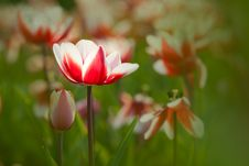 Free Peachblow Tulip Royalty Free Stock Photo - 17382265