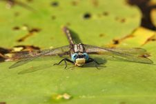 Free Dragonfly On A Water Lily Royalty Free Stock Photos - 17382448