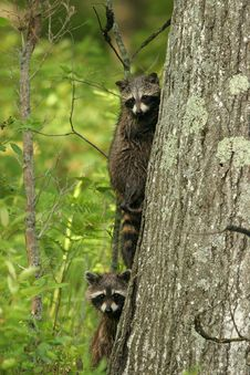 Free Young Raccoons In A Tree Stock Photo - 17382470