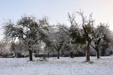 Apple Trees  In Snow Stock Photography
