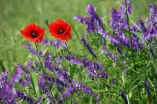 Free Poppy Flowers Royalty Free Stock Images - 17383619