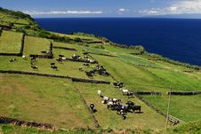 Free Pasture On Cliff With Cows Stock Photo - 17384120