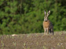 Free Sitting Hare ( Lepus Europaeus ) Stock Images - 17385234