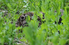 Free Hare ( Lepus Europaeus ) Royalty Free Stock Images - 17385369