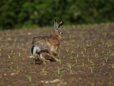Free Running Hare ( Lepus Europaeus ) Stock Photo - 17385410