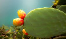Free Prickly Pear Stock Images - 17386644