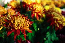 Free Autumn Chrysanthemum Stock Photos - 17387143