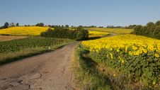 Free Country Road And Sunflowers Stock Photos - 17387583