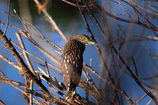 Free Black Crowned Night Heron Stock Photo - 17388350