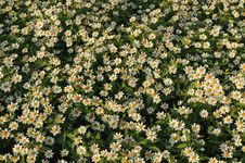 Free Mexican Aster Flowers Royalty Free Stock Photo - 17388505