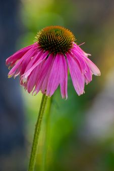 Echinacea Blossom Stock Image