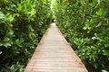 Free Footpath Between Mangrove Forest Royalty Free Stock Photos - 17390138
