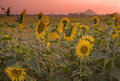 Free Sunflower Field At Dusk. Royalty Free Stock Photos - 17392268