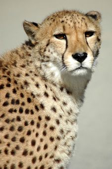 Cheetah In The Wild Royalty Free Stock Photo