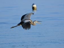 Free Flying Grey Heron And Buoy Stock Photo - 17390870