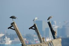 Free Three Reef Egrets On Modern City Background Stock Images - 17390954