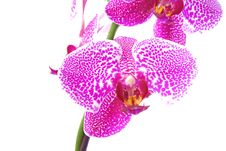 Free Branch Of Violet Orchid Royalty Free Stock Photo - 17391075